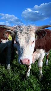 Hereford-kvæg-til-amager_pic-til-nyhed